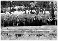 Yellow aspens and conifers Horseshoe park. Rocky Mountain National Park, Colorado, USA. (black and white)
