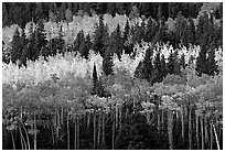 Aspens mixed with  conifers. Rocky Mountain National Park, Colorado, USA. (black and white)