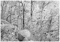 Aspens in autumn foliage and boulders. Rocky Mountain National Park, Colorado, USA. (black and white)