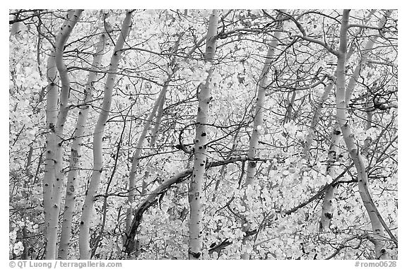 Yellow aspen foliage. Rocky Mountain National Park (black and white)