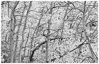 Yellow aspen foliage. Rocky Mountain National Park ( black and white)