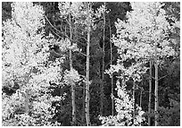 Yellow aspens in forest. Rocky Mountain National Park, Colorado, USA. (black and white)