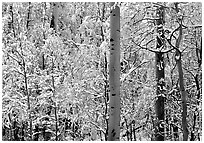 Yellow aspens with fresh snow. Rocky Mountain National Park, Colorado, USA. (black and white)