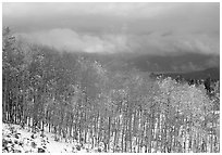 Aspens and snow. Colorado, USA ( black and white)