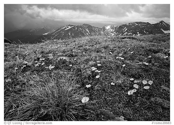 Yellow alpine wildflowers, tundra and mountains. Rocky Mountain National Park (black and white)