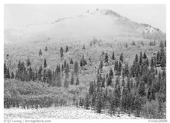 Yellow aspens and conifers in snow and fog. Rocky Mountain National Park (black and white)