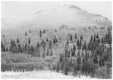 Yellow aspens and conifers in snow and fog. Rocky Mountain National Park ( black and white)