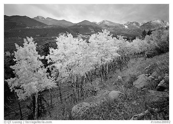 Aspens and mountain range in Glacier basin. Rocky Mountain National Park (black and white)