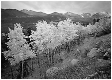 Aspens in bright yellow foliage and mountain range in Glacier basin. Rocky Mountain National Park ( black and white)