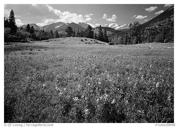 Wildflowers in meadow. Rocky Mountain National Park (black and white)