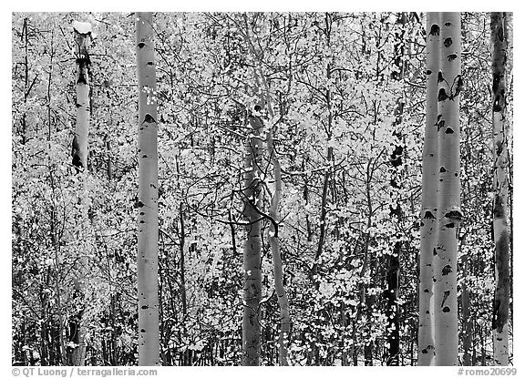Aspens with early autumn snowfall. Rocky Mountain National Park (black and white)