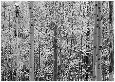 Aspens in autumn color with early  snowfall. Rocky Mountain National Park ( black and white)