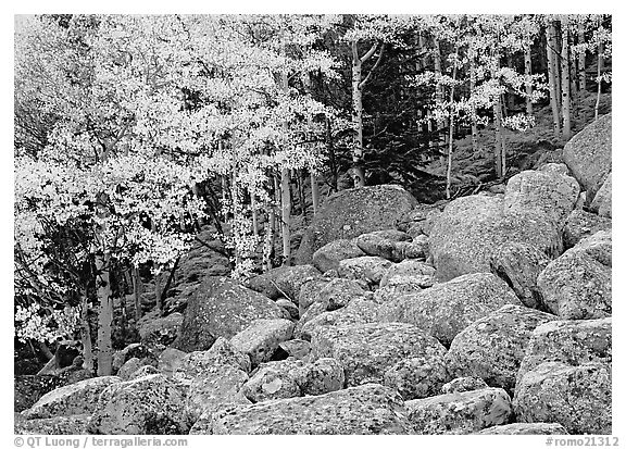 Boulders and aspens with yellow leaves. Rocky Mountain National Park (black and white)