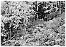 Boulders and aspens with yellow leaves. Rocky Mountain National Park ( black and white)