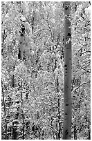 Aspens in fall foliage and snow. Rocky Mountain National Park ( black and white)