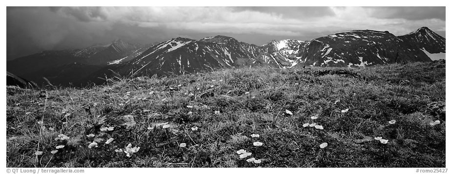 Wildflowers on high alpine meadows. Rocky Mountain National Park (black and white)