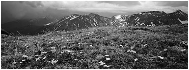 Wildflowers on high alpine meadows. Rocky Mountain National Park (Panoramic black and white)
