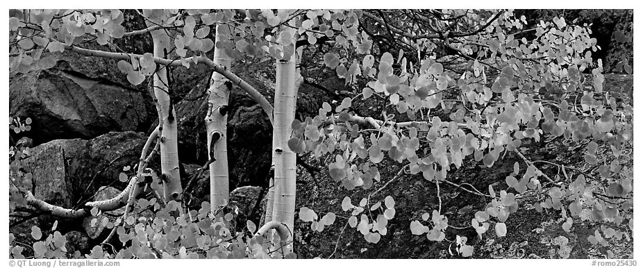 Three orange aspen trees. Rocky Mountain National Park (black and white)