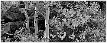 Three orange aspen trees. Rocky Mountain National Park (Panoramic black and white)