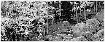 Fall scenery with yellow aspens and boulders. Rocky Mountain National Park (Panoramic black and white)