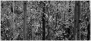 Aspen forest in autumn with a dusting of snow. Rocky Mountain National Park (Panoramic black and white)