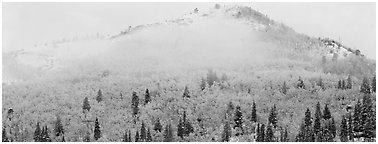 Forest with fall colors and early snow beneath fog-shrouded peak. Rocky Mountain National Park (Panoramic black and white)