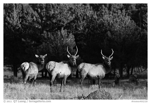 Group of Elk. Rocky Mountain National Park (black and white)