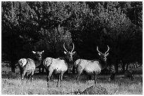 Group of Elk. Rocky Mountain National Park, Colorado, USA. (black and white)