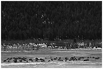 Elk Herd. Rocky Mountain National Park, Colorado, USA. (black and white)