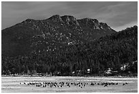 Elk Herd and  Gianttrack Mountain, late winter. Rocky Mountain National Park, Colorado, USA. (black and white)