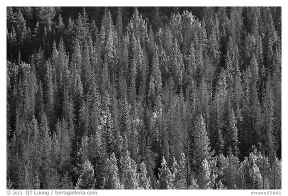 Slope with dark evergreen trees and light aspen trees. Rocky Mountain National Park (black and white)