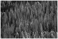 Slope with dark evergreen trees and light aspen trees. Rocky Mountain National Park, Colorado, USA. (black and white)