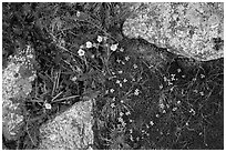 Alpine flowers and lichen-covered granite rocks. Rocky Mountain National Park, Colorado, USA. (black and white)