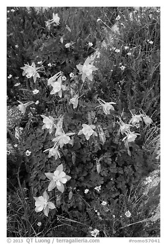 Close-up of Columbine. Rocky Mountain National Park (black and white)