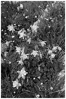 Close-up of Columbine. Rocky Mountain National Park, Colorado, USA. (black and white)