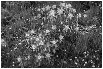 Columbine flowers. Rocky Mountain National Park, Colorado, USA. (black and white)
