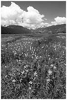Meadow with wildflower carpet near Horseshoe Park. Rocky Mountain National Park, Colorado, USA. (black and white)
