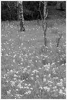 Wildflowers and trees in forest. Rocky Mountain National Park, Colorado, USA. (black and white)