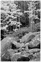 Boulders and forest with yellow aspens. Rocky Mountain National Park, Colorado, USA. (black and white)