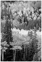 Aspens in various shades of fall colors. Rocky Mountain National Park, Colorado, USA. (black and white)