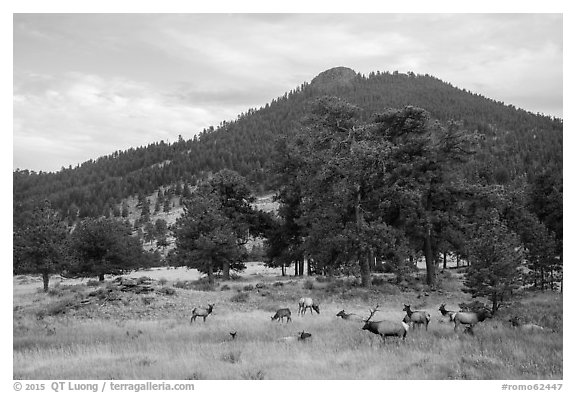 Elk herd and hill in autumn. Rocky Mountain National Park (black and white)
