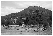Elk herd and hill in autumn. Rocky Mountain National Park ( black and white)