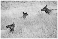 Elk cows in autum grasses. Rocky Mountain National Park ( black and white)