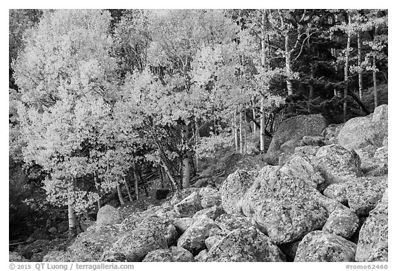 Aspens and boulders in autumn. Rocky Mountain National Park (black and white)