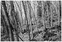 Forest in autumn, Glacier Basin. Rocky Mountain National Park ( black and white)