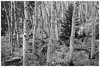 Mixed forest with aspen in autumn. Rocky Mountain National Park ( black and white)