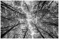 Looking up aspen grove in autumn. Rocky Mountain National Park ( black and white)