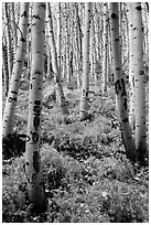 Aspen grove and ferns on forest floor in autumn. Rocky Mountain National Park ( black and white)