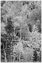 Aspens and boulders in autumn. Rocky Mountain National Park ( black and white)