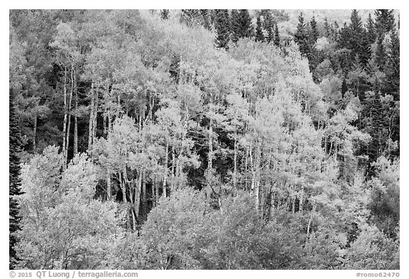 Aspen grove in autumn. Rocky Mountain National Park (black and white)
